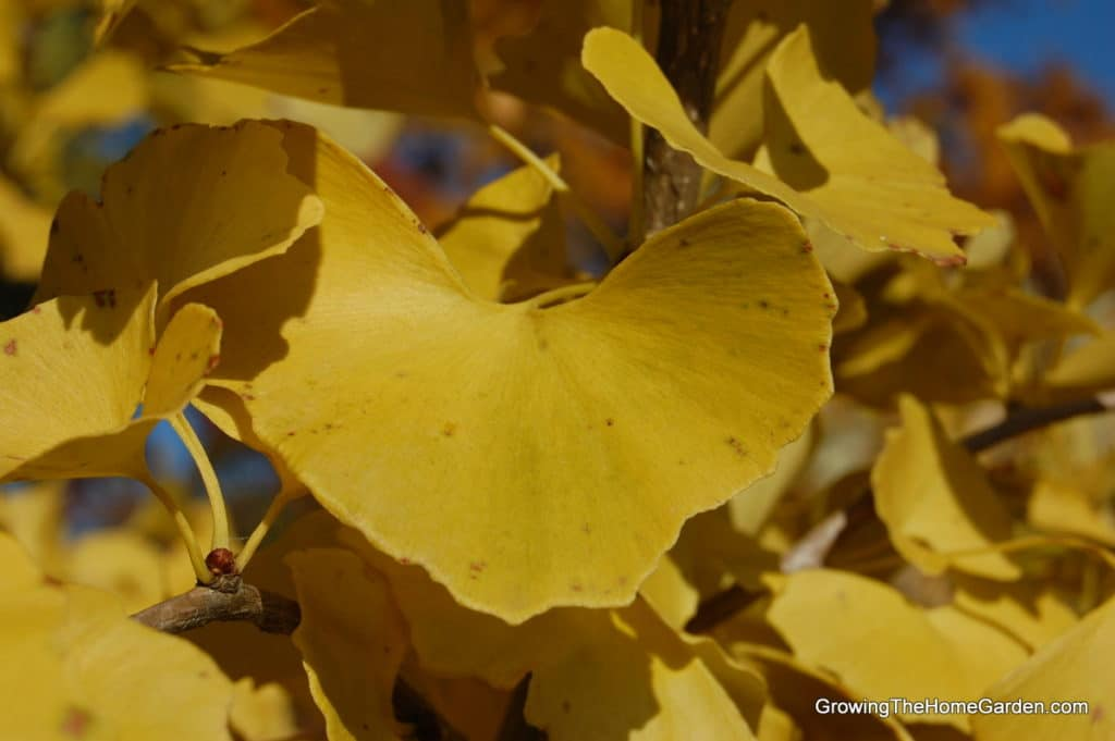 golden fall color on ginkgo tree