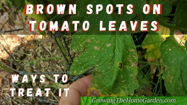 early blight on tomatoes